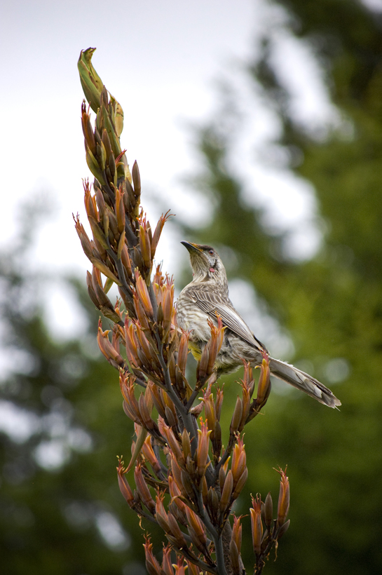 Photo of a honey eater in Glen Innes Australia